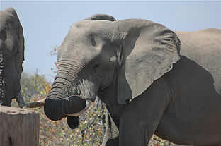 Big 5 Safaris Limpopo - Elephant