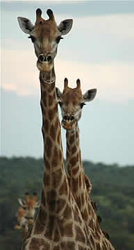 Big 5 Safaris Limpopo - Giraffe